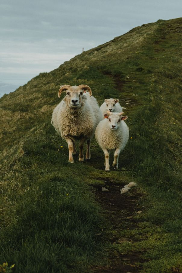 Sheep Family On Westman Islands