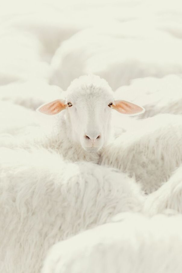 A Sheep (Nature/Animals, 1st Place)