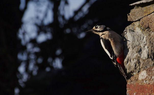 Greater-Spotted Woodpecker Waiting For A Turn On The Feeder