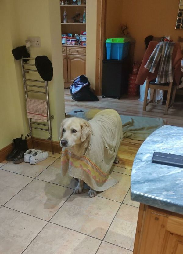 My Dog Chewed A Hole Through His Towel And Stuck His Head Through It. Now He Wears It Around The House Like A Poncho