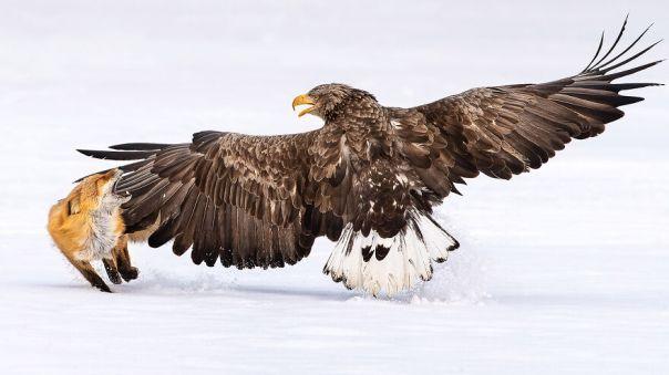 White-Tailed Sea-Eagle By Fahad Alenezi