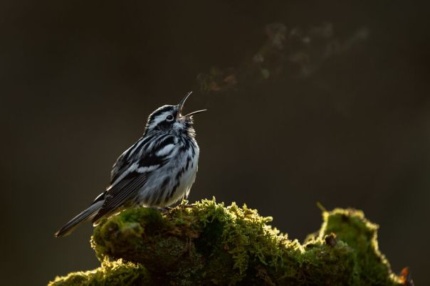 Black-And-White Warbler By Raymond Hennessy