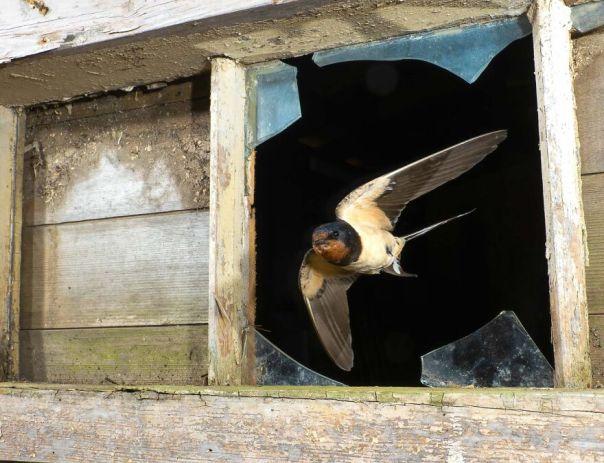 Swallow By David White