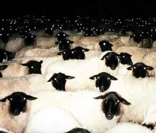 Sheep At Night