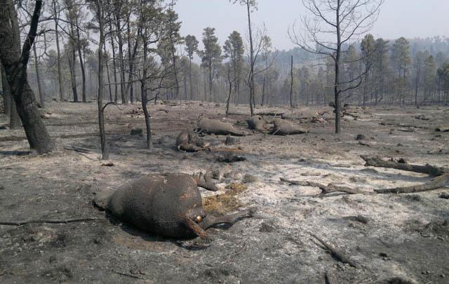 Avanza iniciativa de ayuda a animales afectados por el fuego - Cadena3.com  Mobile