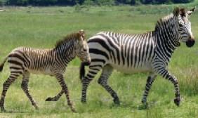 Chebera Churchura National Park Tour