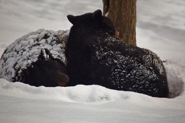 1599px-Black-bears-winter-snow-sleeping_-_West_Virginia_-_ForestWander.jpg