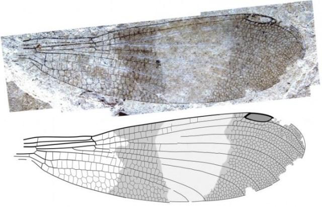 Okanagrion-hobani-Wing-777x500.jpg