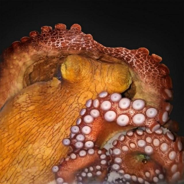 Octopus-in-Active-Sleep-777x777.jpg