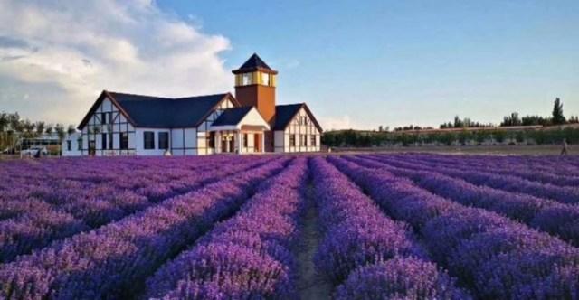 Genetic-Basis-of-Lavenders-Allure-777x404.jpg
