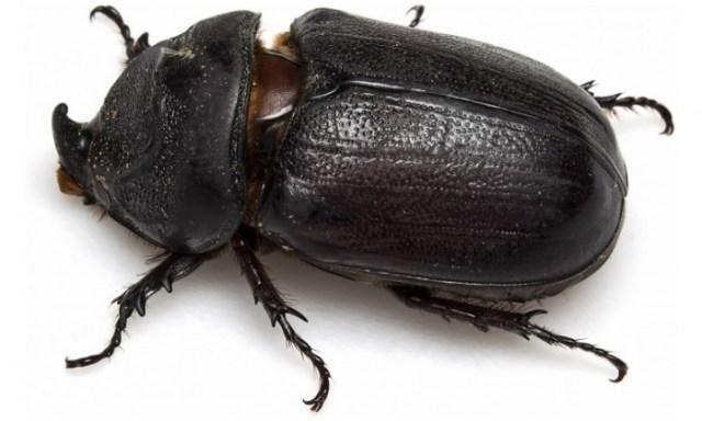 Rhinoceros-Beetle-777x466.jpg