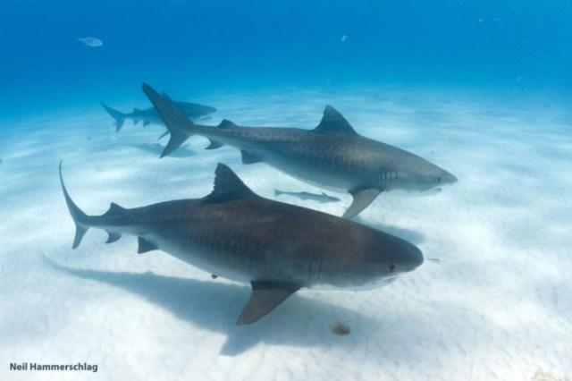 Tiger-Sharks-Galeocerdo-cuvier-777x518.jpg