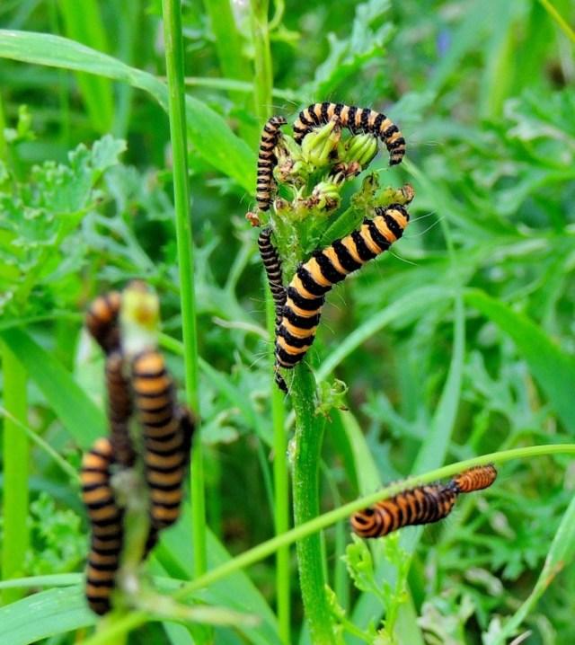 Cinnabar-Larvae-Feeding-on-Ragwort.jpg