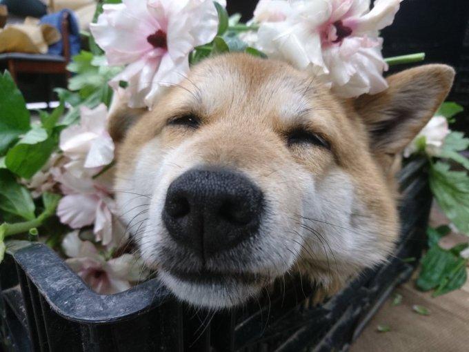 inu_flower4