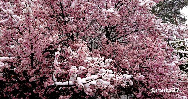 桜と雪のコラボ