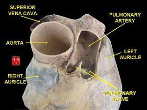 Aorta vs Pulmonary Artery  Difference and Comparison | Diffen