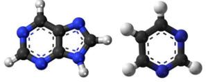 Purines(L) and Pyrimidine(R) molecules, where Black= Carbon, White=Hydrogen, Blue=Nitrogen