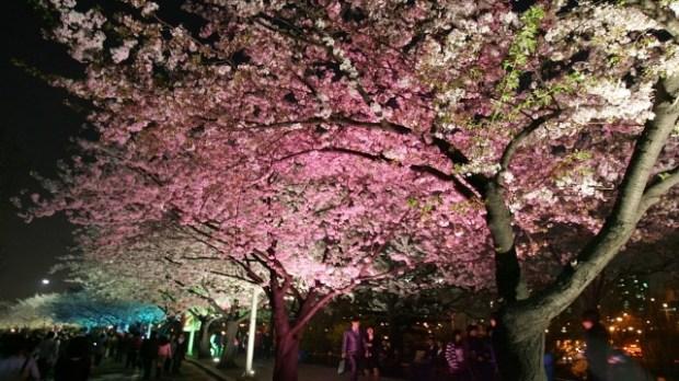 Youido blossom festival