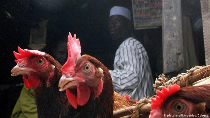 Bird Flu in Nigeria Archives