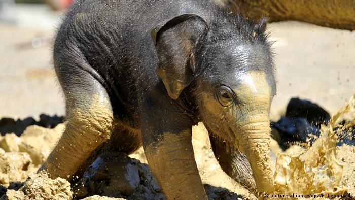 Слоненок в мюнхенском зоопарке Хеллабрунн