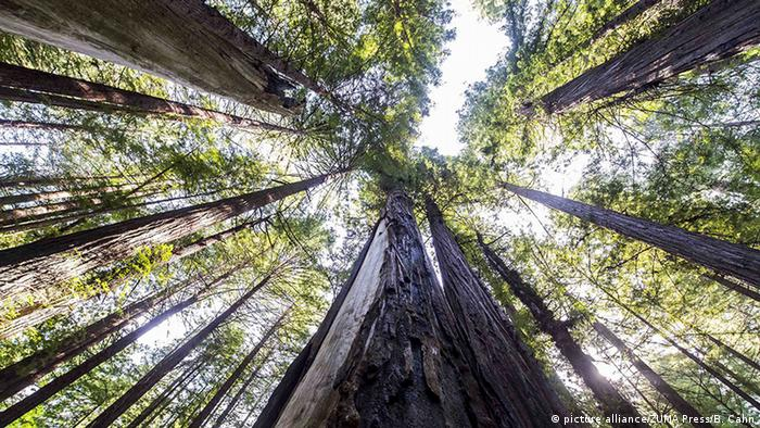 A redwood forest in California