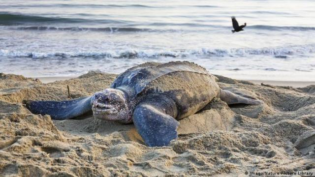 A leatherback turtle on the beach