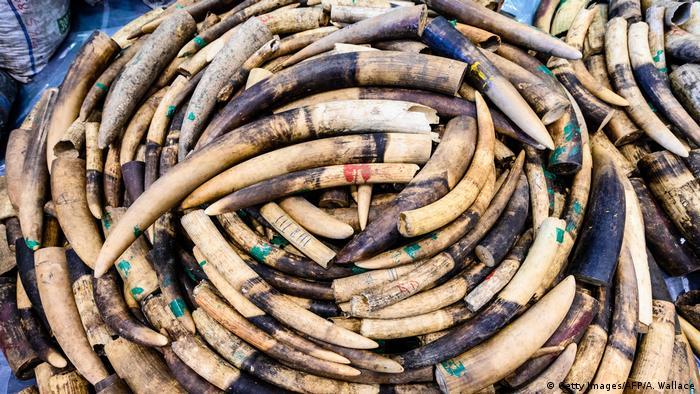 Seized ivory elephant tusks in Hong Kong.