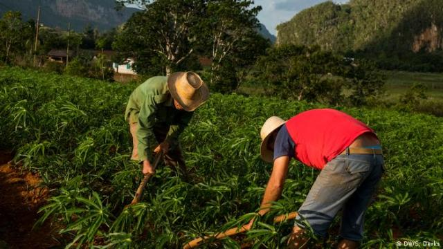 Two people working on a tobacco farm in Vinales, Cuba