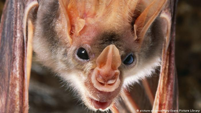 Close up of the face of a ghost bat