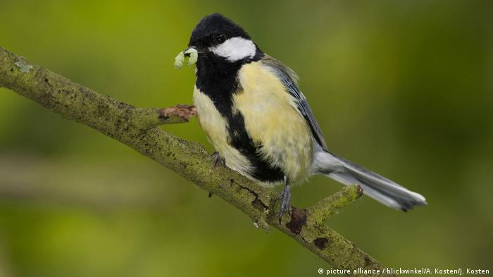 A great tit holds a caterpillar in its mouth