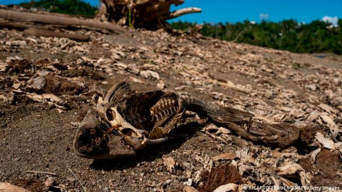 A dried fish carcass is seen on banks of unusually low reservoir in Puerto Rico, 2020.