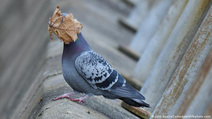 A pigeon with a leaf on its face.