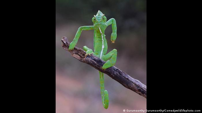 chameleon on a branch with his arms folded as if he was doing breakdance moves.