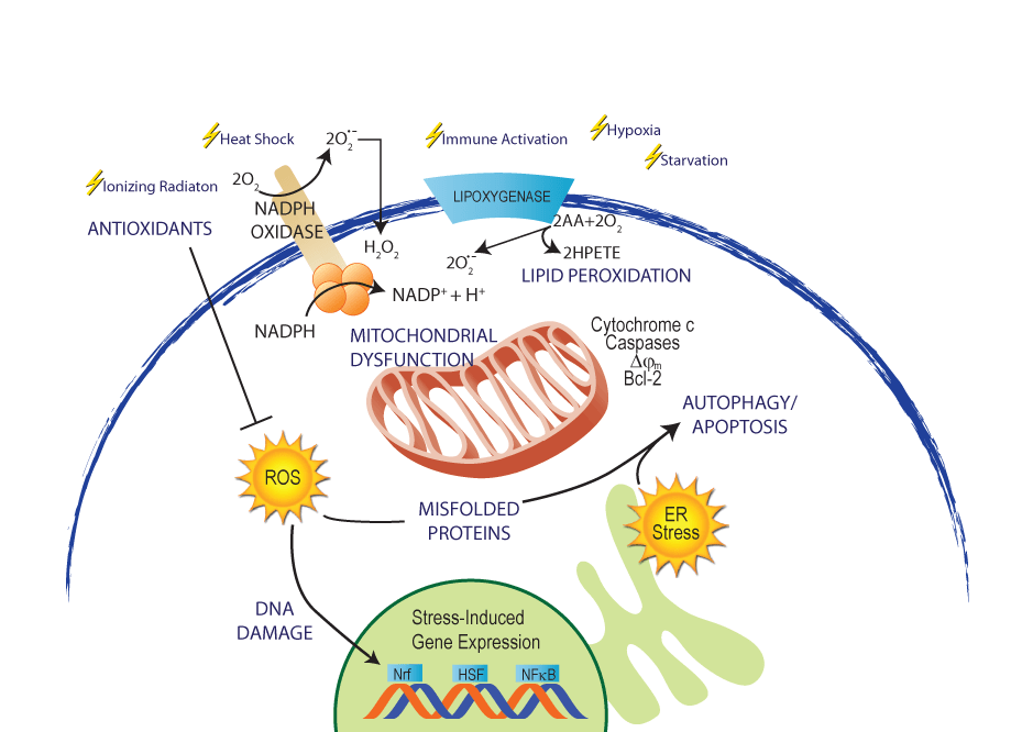 Oxidative Stress - Enzo Life Sciences