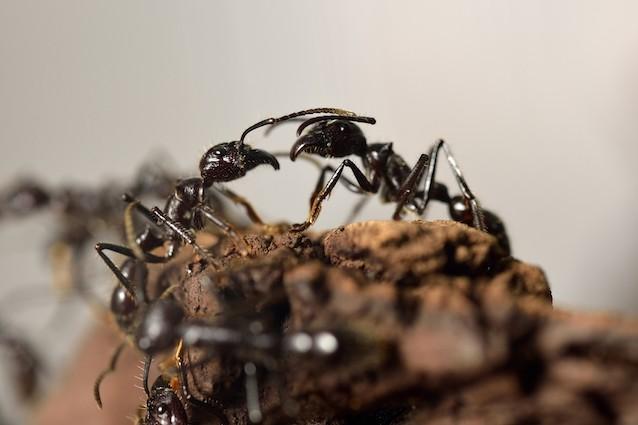 Formiche pigre