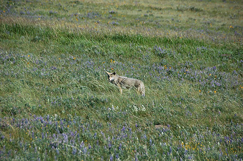 Waterton Lake - Coyote on way to border