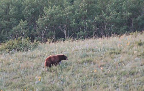 Waterton Lake - Black Bear on Ridge
