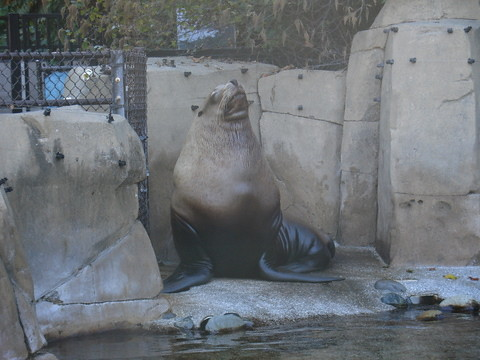A rather large sealion.