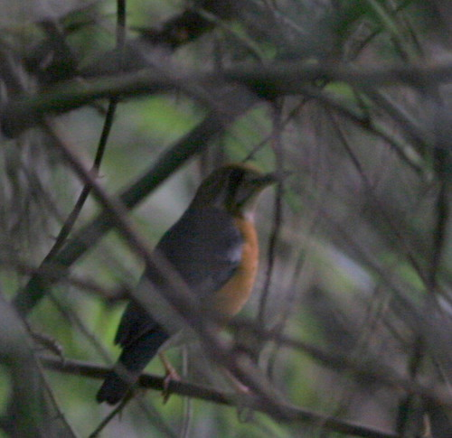 IMG_0308 Orange Headed Thrush
