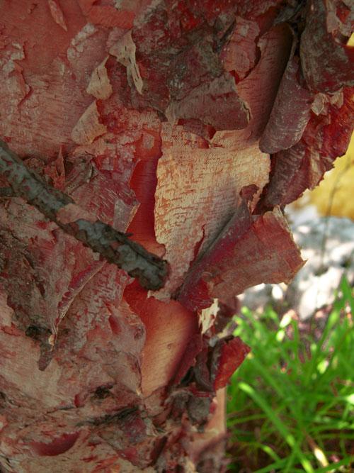 Blood-Birch