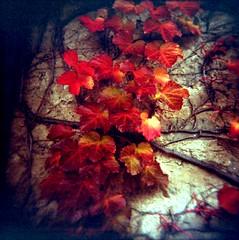 Autumn Ivy