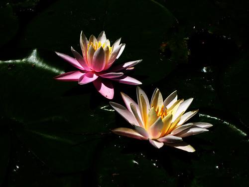 Night-Lillies