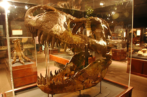 Museum of the Rockies - Largest T-Rex Skull