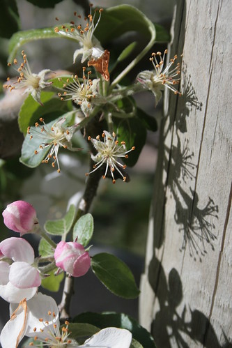 Apple blossoms and shadow