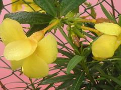MS Flower 2006