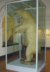 Great White Bear at the Horniman Museum