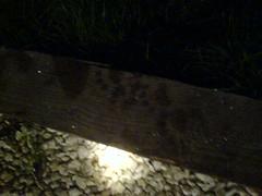 Badger footprints!