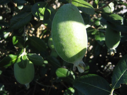 Feijoa still attached