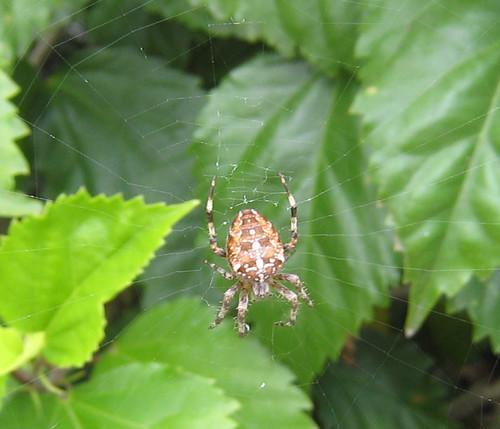 Plump Spider