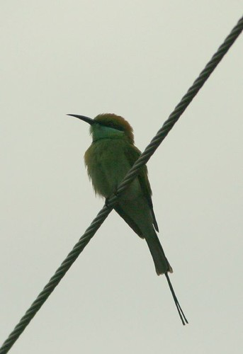 IMG_0172 Small green bee eater